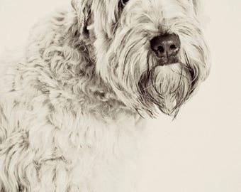 Wheaton Terrier black and white photographic print