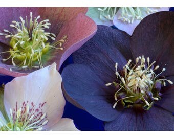 Purple Flower Card, Greeting Card Nature Photography, Blank Photo Card, Hellebore Flower Print Art Card, Floral Stationery Nature Card