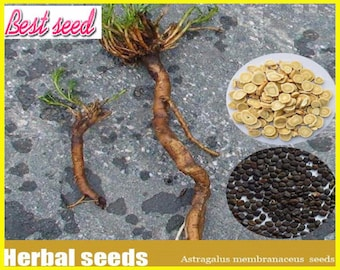 100pcs Perennial Herb Astragalus Membranaceus Seeds, herb seeds
