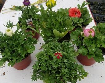 Ranunculus Plants, Assorted Colors, 4 Pots.