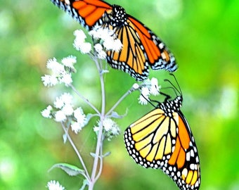 Monarch Butterfly Central Park New York City Wall art Pop Art 20X20 colorful