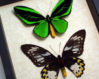 Great Christmas Gift Real Birdwing Butterfly Pair Real Conservation Display 501