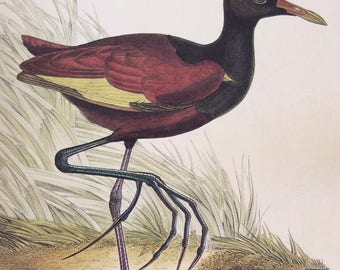 American Jacana,  1990s Reproduction Colorplate, Book Plate, 10 x 14 in. Book Page Print, Bird Print, Ornithology Print