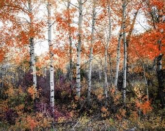 Canvas Art, Aspens, Hiking, Montana, Canvas, 12x16, 16x20, 18x24, 20x30, 24x32, 30x40, 40x60