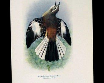 WHITE-BANDED MOCKING Bird, Unframed Vintage Full Color Art Bird Print, 1920