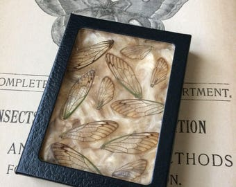 Finding The Beauty In Death Found Dried Cicada Wings Housed In A Paper Board Glass Front Box
