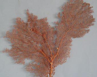 "11.6"" x 13"" Pacifigorgia Red  Sea Fan Seashells Reef Coral"