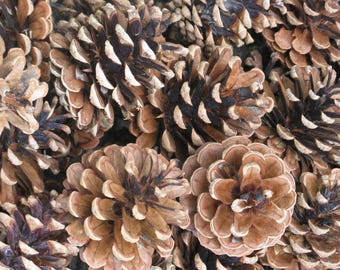 ponderosa pine cones larger sizes 50 in all christmas crafts fall crafts natural woodland wedding