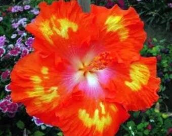 Hibiscus Flowers Seeds Color Yellow/Orange. Qty. 20 Seeds