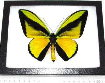 REAL framed butterfly green gold Ornithoptera goliath supremus birdwing Papua New Guinea Indonesia