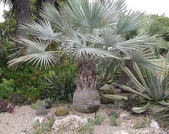 100 Mexican Blue Fan Palm Tree Seeds, Brahea Armata