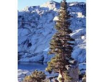 100 Sierra Nevada Lodgepole Pine Tree Seeds, Pinus Contorta, Latifolia