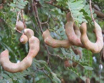 100 Tamarind Tree Seeds, Tamarindus Indica