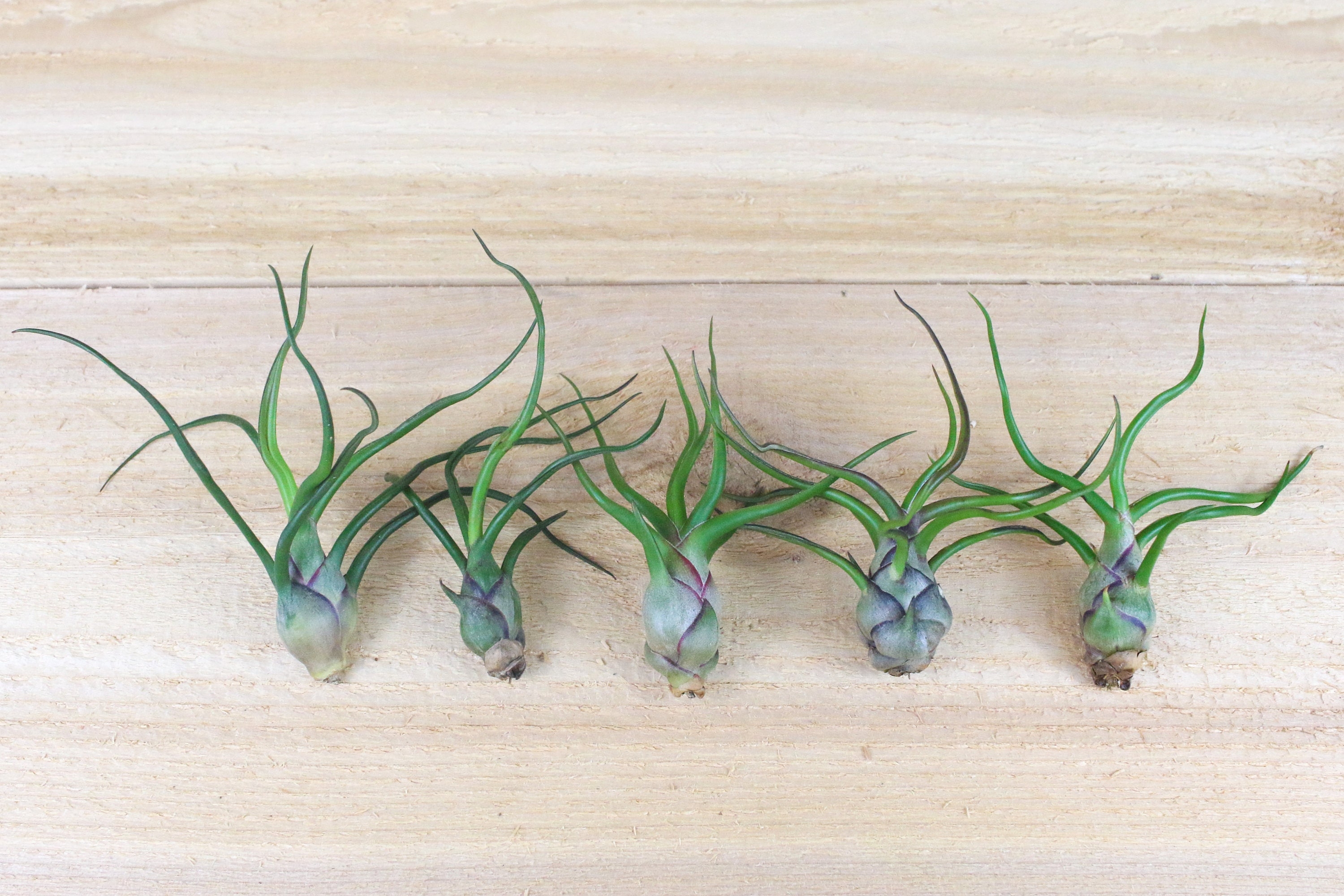5 Pack Of Bulbosa Guatemala Air Plants 30 Day Air Plant