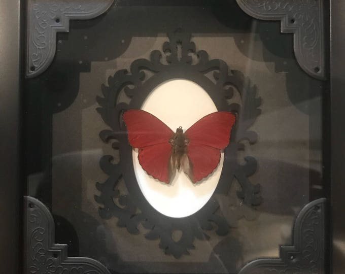 Real taxidermy red flasher butterfly!