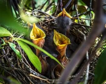 Baby Mockingbirds in Nest, Nature Photography, Baby MockingbirdFine Art Print or Canvas, Farmhouse Wall Decor, Rustic Wall Decor