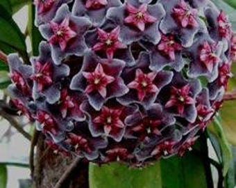 Orchid hoya fuksia star Seeds , orchids seeds, rare orchids, code 172 , orchid collection, gardening, flower seeds