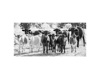 Curious Beings Fine Art Photography Black and White farm and ranch lifestyle country Home Ranch house chic cows cattle quirky Texas backroad