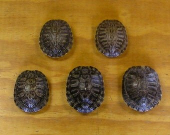 "5 - 4"" Red Ear Slider Turtle Shells"