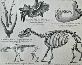 Cenozoic Era. Fossils print.  Paleontology engraving. Old book plate, 1904. Antique  illustration. 113 years lithograph. 9'6 x 6'2 inches.