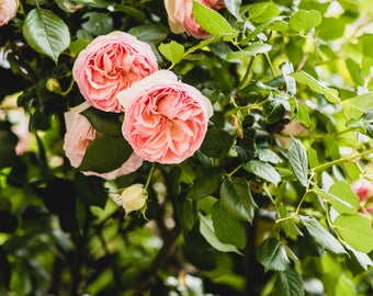 """France Travel Photography, """"Pink Teacup Rose Bush"""", Gallery Wall Art Prints, Home Decor"""
