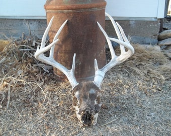 Cruelty Free • Partially Mummified 10 Point  Buck Skull | Humanely Harvested Whitetail Deer Buck | Taxidermy Skull Bones