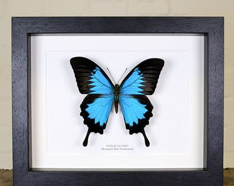 XL Mountain Blue Swallowtail in Box Frame (Papilio ulysses)