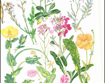 Mediterranean Wild Flowers Plate 30 painted by Barbara Everard. The page is approx. 9 inches wide and 12 inches tall.