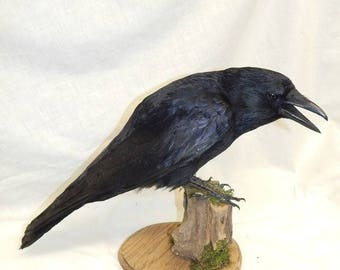 Taxidermy crow made to order very similar ,  The base can be colored as shown or black buyers choice