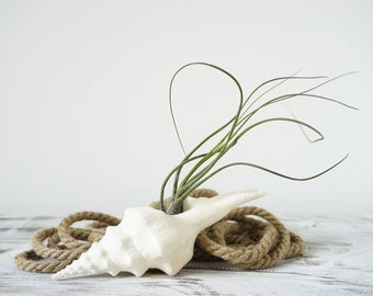 Whimsical Air Plant Design | Tillandsia with Ocean Seashell | Beach Decoration