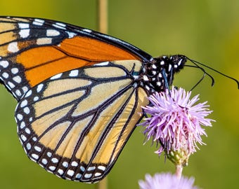 Digital Download: Monarch Butterfly photo
