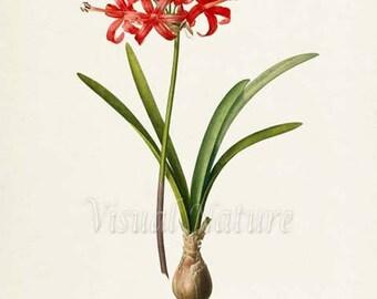 Amaryllis Flower Art Print, Botanical Art Print, Guernsey Lily Flower Wall Art, Flower Print, Floral, Redoute,red,green, Amaryllis Samiensis