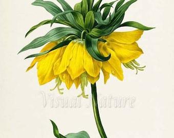 Crown imperial fritillary Flower Art Print, Botanical Art Print, Wall Art, Flower Print, Floral ,Redoute,yellow,green,Fritillaria imperialis