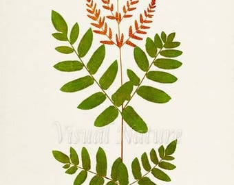 Osmunda Fern Art Print, Botanical Art Print, Fern Wall Art, Fern Print, Botanical Print, Home Decor, green art print