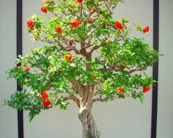 Pomegranate Tree - Punica Granatum - 40 Seeds - Perfect for Bonsai