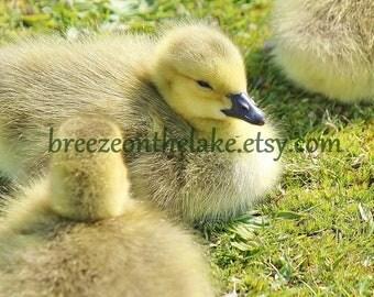 Gosling photo, printable download, nursery decor, gosling picture, wildlife images, bird decor, instant download art