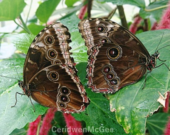 Black Owl Butterfly