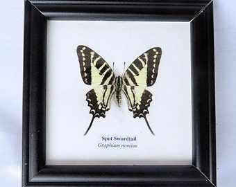 Vintage Framed Real Butterfly, Spot Swordtail ''Graphium Nomius'' under Glass, Square Wooden Frame