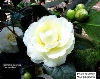 Camellia japonica 'Lemon Glow'