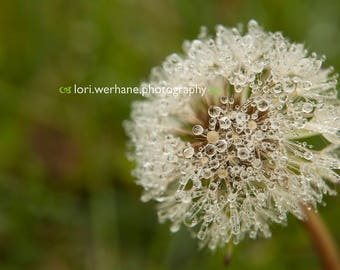 Dewy Dandelion Photograph, Digital download