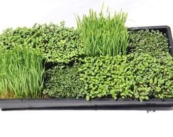 Microgreens deluxe starter kit