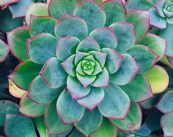 Digital Photograph Succulent