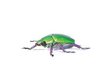 One REAL green purple legs Chrysina beyeri beetle Arizona Unmounted