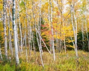 Maine Woods - Photographic Print