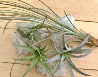 Air Plant Tillandsia, Airplant, Tillandsia, Plant, House Plant, Indoor Plant, Live plant