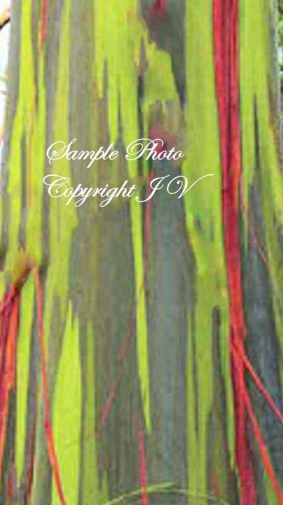 10 Seeds Rainbow Eucalyptus Tree Smooth Rainbow Colored