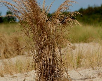 Sea Oats 11x14 Print Only Photography