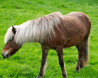 Icelandic Horse Photography Print