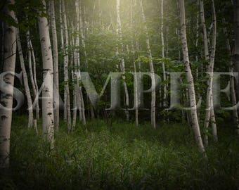 White Birch trees digital backdrop