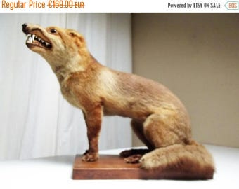 30% REDUCTION Fox, taxidermy, real preserved fox, collectable taxidermy, stuffed fox vintage French hunting trophy, chasse hunting prize hom